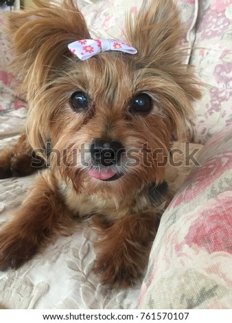 Beautiful Yorkie Yorkshire Terrier Puppy Sitting Stock Photo Edit