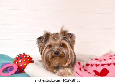 Beautiful yorkshire terrier in clothes lying next to a plaid and toy.