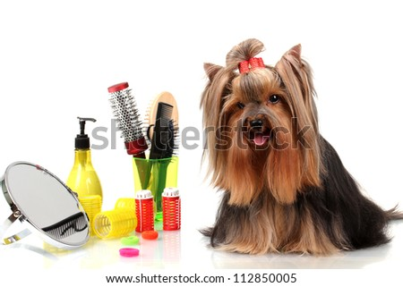 Beautiful Yorkshire Terrier Grooming Items Isolated Stock Photo