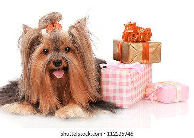 Beautiful yorkshire terrier surrounded by gifts isolated on white