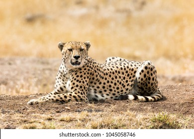 Beautiful young adult cheetah resting in the afternoon sunlight, in the Masai Mara, Kenya.
