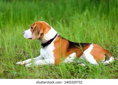 Beautiful young beagle dog lying in green grass outdoor