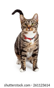 A beautiful young Bengal breed cat wearing a red collar with a bell sitting and looking forward