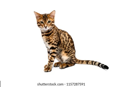 Beautiful young Bengali smooth-haired cat sitting isolated on white background and looking straight.