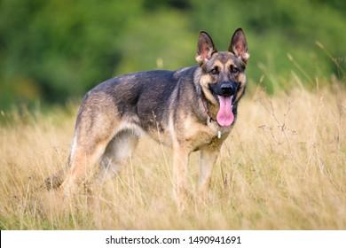 Beautiful Young Black German Shepherd Dog
