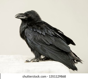 beautiful young black raven on a white background