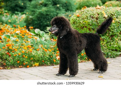 Beautiful Young Black Standard Poodle Dog Outdoor Standing Near Flower-Bed In Park