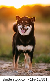 Beautiful Young Black And Tan Shiba Inu Dog Sitting Outdoor In Grass During Sunset.