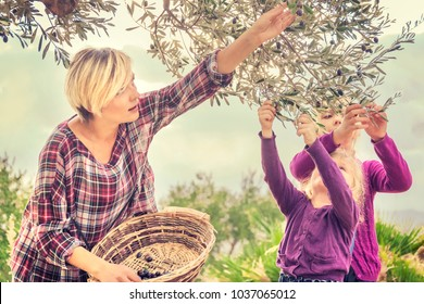 Beautiful young blonde woman in a checkered dress with two little girls collect the olives to a wicker basket in the garden on a sunny day