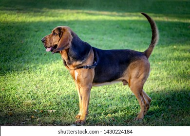 A beautiful young bloodhound stands on a green lawn on a sunny summer day.