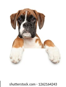 Beautiful young Boxer dog above banner, isolated on white background