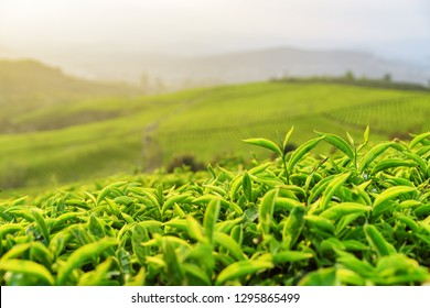 Beautiful young bright green tea bushes at tea plantation in evening.