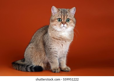 Beautiful young British cat on an orange background