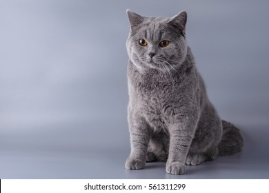 Beautiful young British cat on a gray background.
