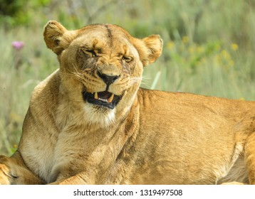 A Beautiful young brown African Lioness sitting idle and laughing with closed eyes in a game reserve in South Africa
