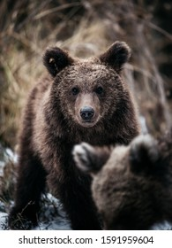 Beautiful young brown bear looking at the camera in the wild forest of Romania,Transylvania,Europe.