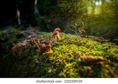 Beautiful young brown fungus on old tree trunk, silhouetted against the green moss and illuminated with sunflair in an autumn forest