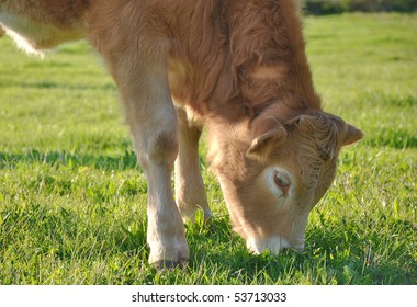 beautiful young calf on pasture