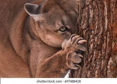 Beautiful Young Canadian Puma Hunting in the Forest