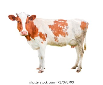 Beautiful young cow isolated on white and looking into camera. Funny red and white spotted cow full length isolated on white background.
