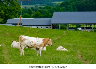 Beautiful young cow somewhere in the Eifel, Germany