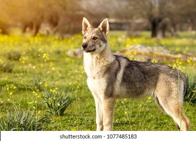 Beautiful young Czechoslovakian wolfdog  pupppy in yellow flowers field at sunset spring day.