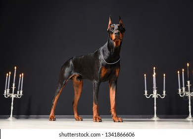 A beautiful young Doberman stands against a black wall and candlesticks with burning candles. Proud doberman