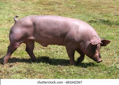 Beautiful young domestic pig breeding on animal farm