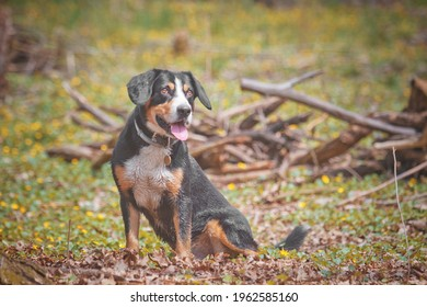 beautiful young Entlebucher Mountain Dog running in flower spring nature - Shutterstock ID 1962585160