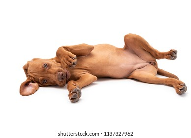 Beautiful young female Hungarian Vizsla puppy (magyar vizsla) laying on her back isolated against a white background