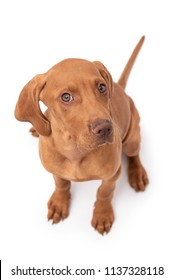 Beautiful young female Hungarian Vizsla puppy (magyar vizsla) looking up and sitting isolated against a white background