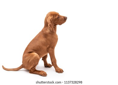 Beautiful young female Hungarian Vizsla puppy (magyar vizsla) sitting and looking to the side isolated against a white background