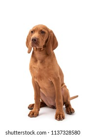 Beautiful young female Hungarian Vizsla puppy (magyar vizsla) sitting down isolated against a white background