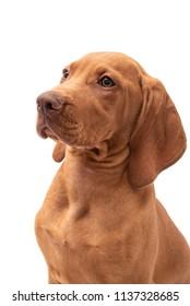 Beautiful young female Hungarian Vizsla puppy (magyar vizsla) isolated against a white background