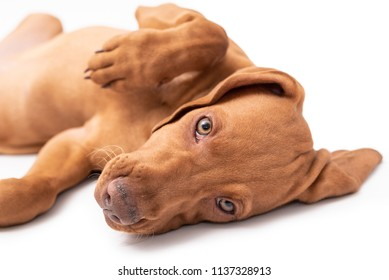 Beautiful young female Hungarian Vizsla puppy (magyar vizsla) laying down on her back isolated against a white background