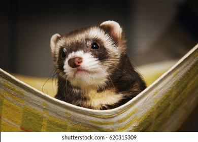 Beautiful young ferret or skunk lying in a hammock or a nest in a cage and looking curiously out