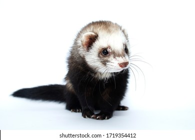beautiful young ferret in white background - Shutterstock ID 1719354412