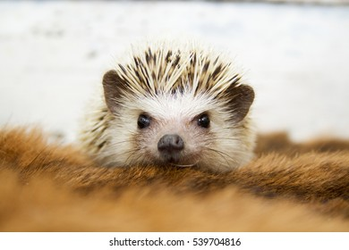 beautiful young and fun cute african hedgehog baby in vintage background
