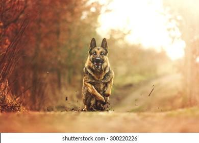 beautiful young german shepherd dog puppy running in sunset nature