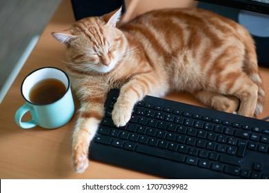 Schöne junge Ingwer Katze gut gefüttert und zufriedene Schlafplätze zu Hause Arbeitsplatz in der Nähe Keypad und Tasse Tee. Kätzchen mit klassischem Marmormuster liegen auf dem Tisch. Bleiben Sie zu Hause, arbeiten Sie zu Hause, Quarantäne
