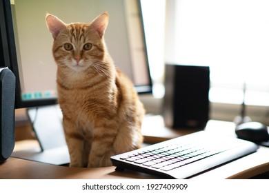 Schöne junge Ingwer Tabby Katze gut gefüttert und zufrieden sitzt zu Hause Arbeitsplatz neben Tastatur und Bildschirm.