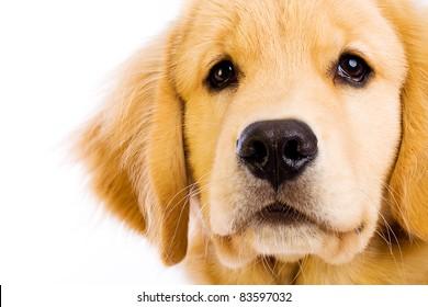 A beautiful young Golden Retriever dog.