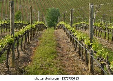 Beautiful young green vineyards near Mercatale Val di Pesa (Florence) in spring season. Tuscany, Italy.