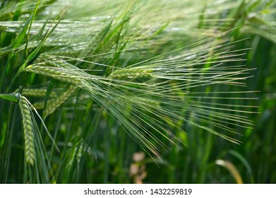 Beautiful young green wheat field. Natural colorful summer background for agriculture.