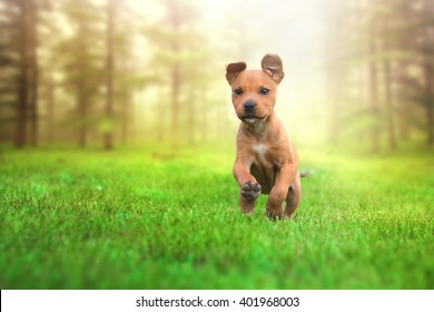 Beautiful young and happy american stafford terrier running and jumping from forest sunset. Lens flare