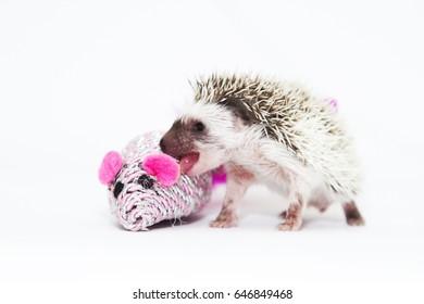 beautiful young hedgehog