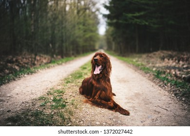 Beautiful young irish setter lie on a ground in the forest. Hunting dog in a nature. Concept of pets.