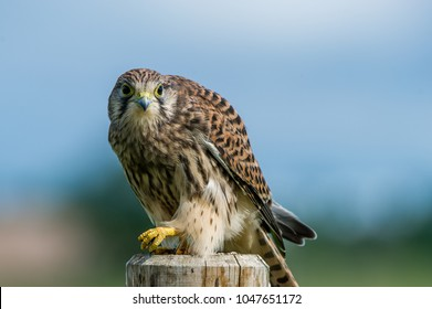 A beautiful young kestrel perching on a wooden roundpole fence looking behind you with a nice defocused background
