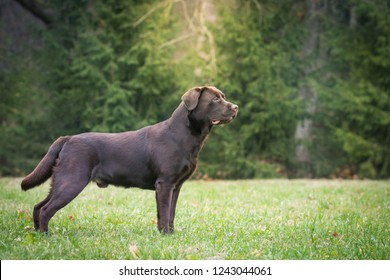 Beautiful young labrador retriever dog posing in autumn leaves.