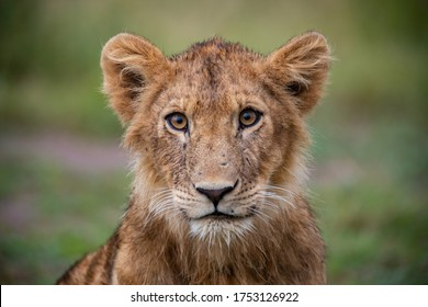 Beautiful young lion in the wild closeup